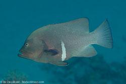 BD-131212-Marsa-Alam-1363-Aethaloperca-rogaa-(Forsskål.-1775)-[Redmouth-grouper].jpg